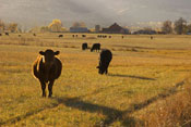 Beef cattle on a western ranch