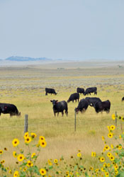 A Montana ranch with beef cattle