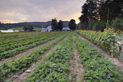 Rows of crops on New England farm